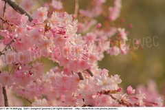 2011-04-14 0458 Sakura, Prunus serrulata, the weeping cherry tree blossoms (Badger 23 / jezevec) Tags: park pink flowers flower tree cherry spring blossom indianapolis blossoms indiana anh bloom  flowering sakura blooms holliday weeping hoa blooming prunus cerezo weepingcherry    kirschblte   jezevec cvijet serrulata shidarezakura prunusserrulata o krsbr   cseresznyevirg japanskt  hoaanho kirsuberjatr badger23 namumulaklak  trenjin    seresang trenjincvijet