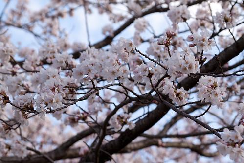 見附公園の桜2