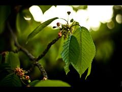 Jungle (ボケ) (Audrey Meffray) Tags: wood blur flower tree nature fleur canon cherry 50mm leaf dof bokeh map vert sakura cherrytree bois cerisier feuille branche 50mm18ii 50mmf18ii canon50mm18ii bokehlicious canon450d