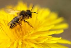 Western Honey Bee 39/52 (sleepyhead's) Tags: project european dandelion bee honey western pollen weeks honeybee 39 asteraceae 52 apis mellifera taraxacum fiftytwo taraxacumofficinale officinale cichorieae apismellifera apocrita apoidea apidae apinae apini asterales 52weeks commondandelion 3952 westernhoneybee europeanhoneybee project52 52weeksproject projectfiftytwo 39of52 fiftytwoweeksproject