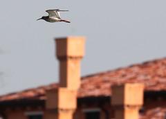 Pettegola ... veneziana (lincerosso) Tags: birds uccelli tringatotanus pettegola lagunadivenezia liopiccolo primaveralagunare