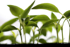 A close up of a pepper seedlings (!.Keesssss.!) Tags: sunlight plant nature netherlands horizontal pepper outdoors photography leaf stem day nopeople growth seedling freshness gettyimages gelderland royaltyfree focusonforeground theflickrcollection keessmans 175ksgetty