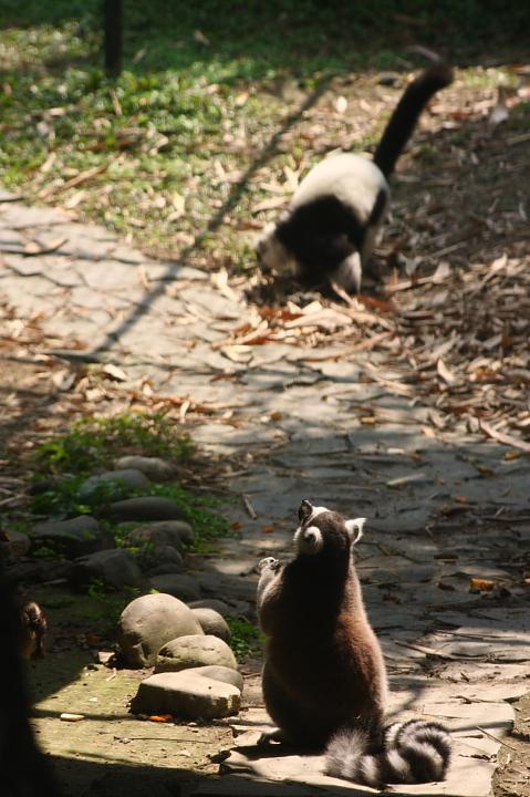 木柵動物園(環尾狐猴)028