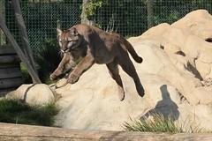 Puma Leaping (Danny Nicholson) Tags: wild nature animal cat fur wildlife teeth tiger conservation claw breeding cheetah endangered predator lynx carnivore