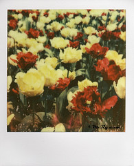 110421_Tulip042x (Dutch Design Photography) Tags: flower dutch field closeup easter polaroid photography spring groen foto fotografie photographer photograph tulip instant breda lente rood veld nederlands bloemen keukenhof pasen atelier bloem mery kleur tulp fotograaf fotostudio artstudio23 melanierijkers