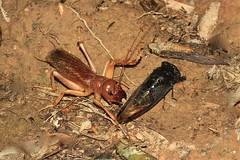 Sia ferox (Stenopelmatoidea)