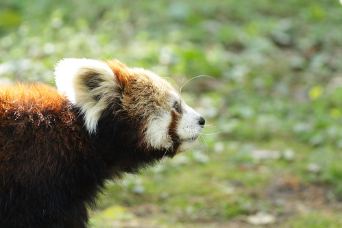 Walking red panda