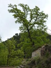 Rebollo (Sapo029) Tags: naturaleza verde arbol fuente rebollo serrana andilla quejigo quercusfaginea galler losserranos lajordana rbolmonumental rourevalenci