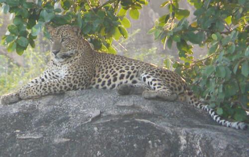 Leopardo en el Yala (elrincondesele.com)