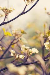 Viburnum Furcatum (~ Maria ~) Tags: flowers trees light sunshine season happy spring flora dof sweden bokeh softness meadow botanic pasteltones viburnumfurcatum springflorals