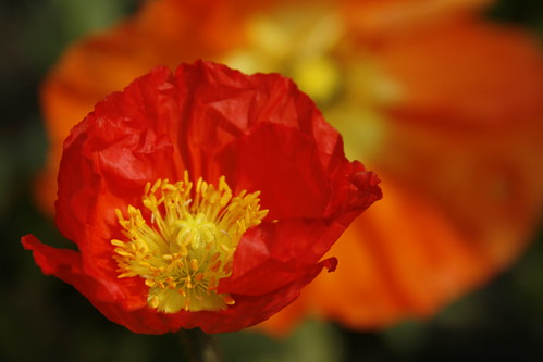 Poppy at Heitz Cellars