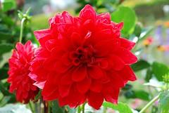 DSC_0965 (mukulneetika) Tags: flowers india flower flora kerala munnar alleppey allepy