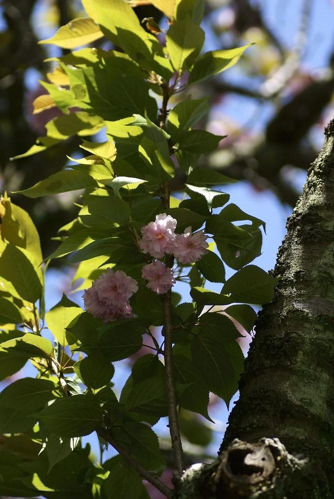 Cherry Blossom 153