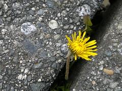 A dandelion between the cracks 043020116231 (roland) Tags: cameraphone plant flower macro yellow vancouver dandelion rolandtanglaophoto stanleypark plantsincracks n8photo presentationfodder
