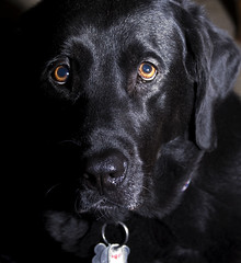 Miss Bells (hutchphotography2020) Tags: dog pet nikon blacklab labradorretriever sb800 dogportrait strobist manualflash