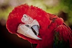 [フリー画像] 動物, 鳥類, ベニコンゴウインコ, 201105070500