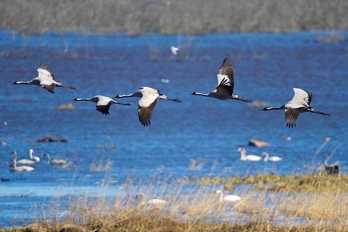 Cranes at Hornborgar