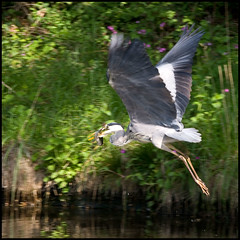 Gone Fishin' (Rob-33) Tags: fish bird heron canal wildlife worcestershire kidderminster pentaxkx staffsworcscanal