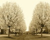 Rows of Blossoming Trees (tambrose1) Tags: flowers trees nature grass sepia outdoors spring blossom rows
