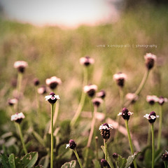 Sow a seed and the earth will yield you a flower. (uma konappalli) Tags: flower nature square nikon bokeh small processed fromground d80 challengeyouwinner wonderfulworldofflowers