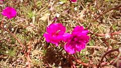 bee | foshia (ala'a mansour) Tags: flower bee foshia نحلة فوشي