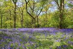 Purple Carpet (tj.blackwell) Tags: flowers summer green nature leaves bluebells forest woodland spring woods bradford walk yorkshire north wildflowers blooms ilkley wharfedale middletonwoods hyacinthoides ancientforest