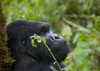 Gorilla in Volcanoes National Park - Rwanda (Eric Lafforgue) Tags: africa park animal forest outdoors gorilla head profile bamboo rwanda vegetation afrika greenery foret primate parc commonwealth bambou tete afrique eastafrica gorille mountaingorilla oneanimal centralafrica 9373 kinyarwanda ruanda gorillaberingei gorillatrekking afriquecentrale bigape רואנדה unanimal gorilledesmontagnes 卢旺达 르완다 盧安達 republicofrwanda руанда رواندا ruandesa