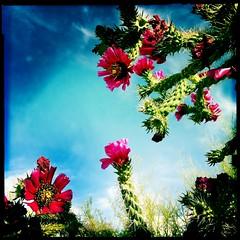 Cholla Blooms by Jason Willis