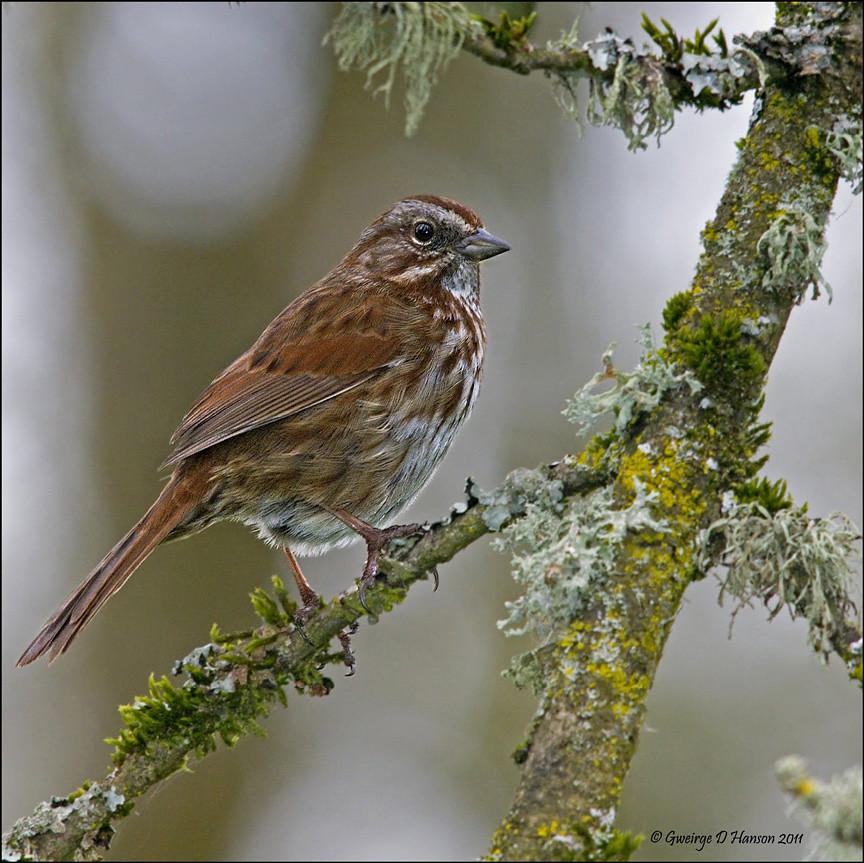 Song Sparrow Gray Day
