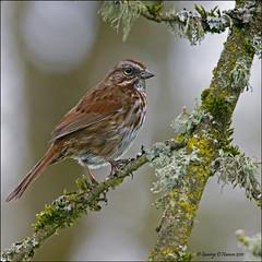 Song Sparrow Gray Day (Wily Fawlet) Tags: songsparrow ridgefieldnwr