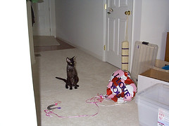 AngusWithBalloon (gina+dave) Tags: devonrex cat angus black balloon scared peoria house