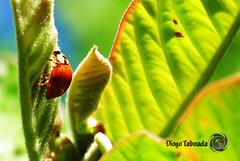 Joaninha (Diogo Taboada) Tags: animal insect natureza inseto ladybug joaninha diogotaboada