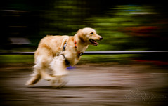 | The Whirlwind World of Brady | (SOBPhotography) Tags: rescue dog chien pet cane goldenretriever golden canine hond retriever perro hund brady goldenretrieverrescue
