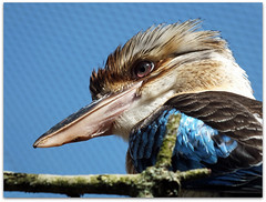 Colourful kookaburra! - Cotswold Wildlife Park (macfudge1UK) Tags: uk england bird fauna spring europe wildlife bluewingedkookaburra oxfordshire kookaburra avian oxon burford cotswoldwildlifepark hs20 2011 cwp blueribbonwinner allrightsreserved bradwellgrove hs20exr fujifilmfinepixhs20exr fujihs20exr fujifilmhs20