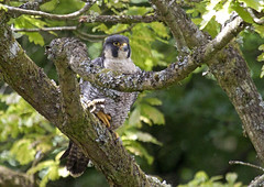 Male peregrine in oak tree (HelenBushe) Tags: uk tree bird river scotland clyde oak falcon gorge prey peregrine swt newlanark fallsofclyde scotishwildlifetrust