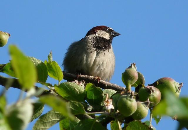 24434 - House Sparrow