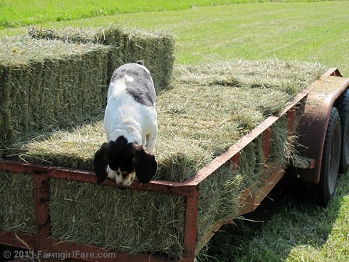 Bert on the hay trailer 2
