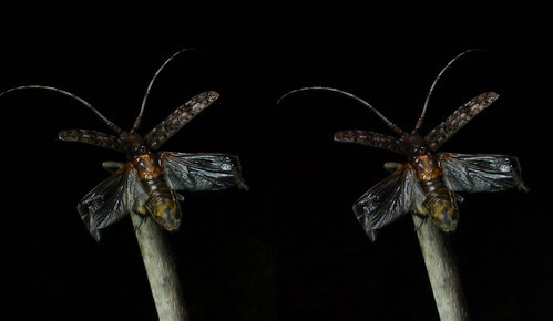 Monochamus alternatus, stereo parallel view