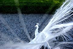 Pavone bianco (Stefano Canziani 2) Tags: white animal animals lago peacock bella maggiore palazzo bianco animali animale stefano isola pavone stresa borromeo baveno canziani stefanocanziani httpwwwstefanocanzianicom wwwstefanocanzianicom