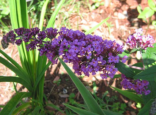 "Butterfly Bush ""Petite Plum,"" First Flower. by Leenechan"
