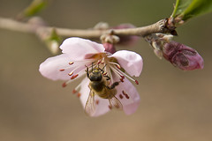 Bee Loves Plum Blossom (Synghan) Tags: flowers plants plant flower macro nature canon bug insect lens eos rebel dc kiss blossom wildlife bees blossoms plum sigma insects bugs bee 1770 plums t3i x5 284 600d 1770mm 벌 f284 매화