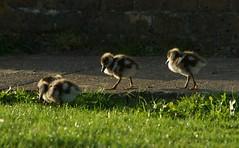 Egyptian Geese Goslings (paulinuk99999 - tripods are for wimps :)) Tags: park geese goose egyptian gosling bushy paulinuk99999 sal70400g
