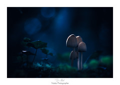 Midnight mushrooms (Naska Photographie) Tags: naska photographie photo photographe paysage proxy proxyphoto macro macrophotographie macrophoto extrieur forest foret arbre bois champignon mushroom nuit night midnight blue bleu color couleur bokeh nature extincteur