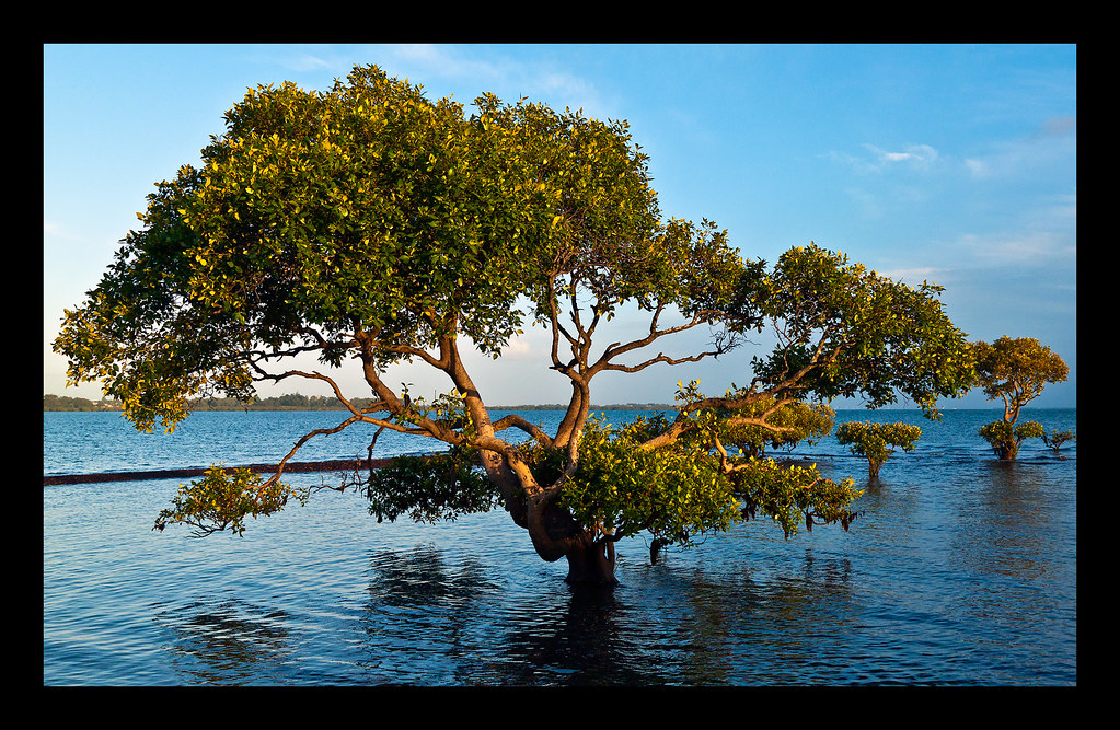 Mangroves C&C (for MiniChris)