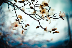 Perhaps the cold will return once more after the rain (moaan) Tags: life leica cold digital 50mm dof gloomy blossom bokeh f10 utata magnolia noctilux blossoming m9 coldday 2011 ordinarylife explored inlife leicanoctilux50mmf10 comeintoblossom leicam9 firstmagnolia gettyimagesjapanq2