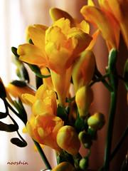 بی نام (no0shin) Tags: flower yellow birth calm silence سکوت آرامش