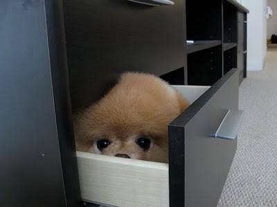 boo_Pomeranian_Dog_26
