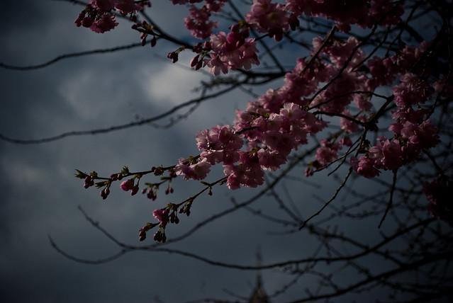 250311_ blossom #1