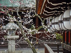 Kitano Tenman-gū (Explored) (Rekishi no Tabi) Tags: japan kyoto 京都 shinto 北野天満宮 earlyspring 梅 plumblossoms flickrexplore shintoshrines kitanotenmangū kitanotenmangūshrine sugarawamichizane