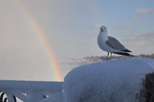 Seagull and (Double) Rainbow at Niagara Falls